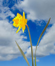 Yellow Narcissus Royalty Free Stock Images - 4555389
