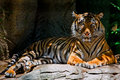 Tiger Royalty Free Stock Photo - 4556205