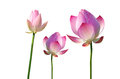 Twain Pink Water Lily Flower (lotus) Stock Photo - 45504990