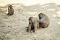 Baboons Royalty Free Stock Image - 45514066