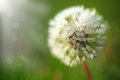 Dandelion In The Dew In The Sun Royalty Free Stock Photo - 45514925