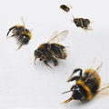 Dead Bees Stock Photography - 45568582