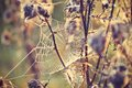 Thistle With Cobweb Stock Photo - 45598750