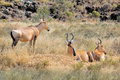 Red Hartebeest Stock Photography - 45599372