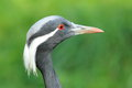 Demoiselle Crane Royalty Free Stock Photography - 45610027