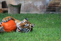 Tiger And Pumpkin Stock Images - 45627434