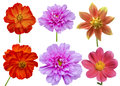 Dahlias Cosmos Aster Flower Royalty Free Stock Image - 45642566