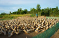 Asian Farmer, Flock Of Duck, Vietnamese Village Royalty Free Stock Photography - 45642737