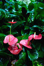 Anthurium Stock Photo - 45653080