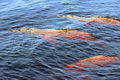 Three Pink River Dolphins In Rio Negro, Brazil Stock Image - 45659201