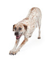 Pointer Crossbreed Bowing Stock Image - 45666951
