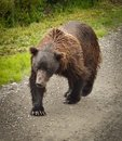 Grizzly Bear In Denali National Park Stock Photos - 45667963