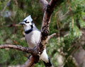 Blue Jay On Tree Branch Royalty Free Stock Images - 45669439