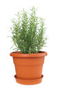 Rosemary Plant In Plastic Pot Stock Images - 45681114