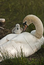 Mute Swan Cygnet Climbing On Mothers Back Stock Photography - 45702462
