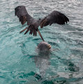 Frigate Bird Above Dolphin Playing In The Water Royalty Free Stock Photos - 45710668