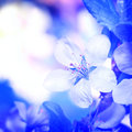 Flowers On  Branch Of Fruit Tree. Royalty Free Stock Photography - 45716847