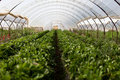 Culture In A Greenhouse Strawberry Royalty Free Stock Image - 45718706