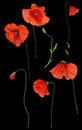 Wild Red Poppy Flowers Set On Black Royalty Free Stock Photography - 45721417