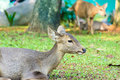 Young Deer Sitting With Grass Field Royalty Free Stock Photo - 45721925