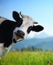 Cow Royalty Free Stock Photography - 45723607