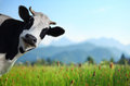 Cow Royalty Free Stock Photo - 45723755