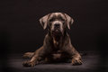 Cane Corso Dog Royalty Free Stock Photos - 45735518