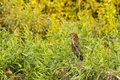 A Mature Rufescent Tiger Heron Perched Amongst Bushes Stock Photos - 45743823