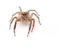 Jumping Spider Royalty Free Stock Photography - 45753547