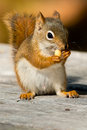 North American Red Squirrel Stock Photography - 45757802