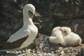 Nazca Boobies And The Baby Booby Royalty Free Stock Photos - 45791698