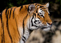 Siberian Tiger Royalty Free Stock Photo - 4581265
