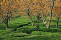 Tea Garden Estates Of Kangra India Royalty Free Stock Images - 4587279