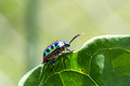 Lychee Shield Bug Royalty Free Stock Photos - 45815988