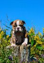 Bulldog Puppy Royalty Free Stock Images - 45829929