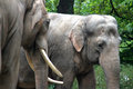 Two Asian Elephants Hugging Royalty Free Stock Photography - 45832607