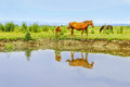 Horses On A Meadow In Water Royalty Free Stock Photography - 45842267
