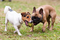 Jack Russel Terrier And French Bulldog Stock Photography - 45851922