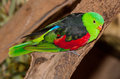 Red Winged Parrot Stock Images - 45891524