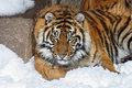 Tiger Stock Photography - 4595562