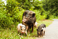 Cute Pig With Piglets On Countryside Road Stock Photos - 45913473