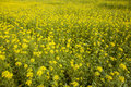 Yellow Mustard Seed In Field Stock Photography - 45922262