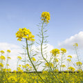 Flowers Of Yellow Mustard Seed In Field Stock Photo - 45925430