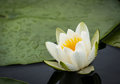 White Water Lily Royalty Free Stock Photo - 45953825