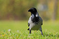 Hooded Crow (Corvus Cornix). Royalty Free Stock Photography - 45974277
