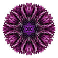 Purple Cornflower Mandala Flower Kaleidoscope Isolated On White Royalty Free Stock Images - 45976599