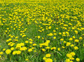 Dandelion Meadow Royalty Free Stock Images - 466539
