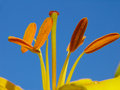 Lily Stamens Royalty Free Stock Images - 468409