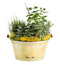 Fresh Look Herbs And Spices Plant On Washtub Pot Stock Photography - 46002922