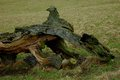 Fallen Tree, Chatsworth Park, Derbyshire. Royalty Free Stock Images - 46017709